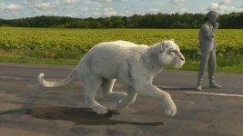 Sprinting White Furrd Tiger.jpg